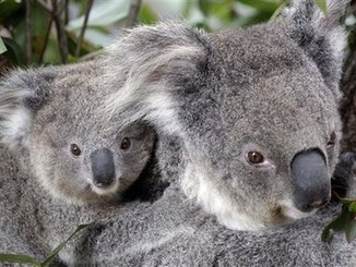 Koalas In The News