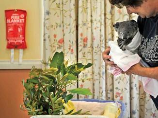 Bushfires Take A Toll On Koalas