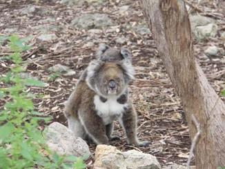 Mac Koala: Sad End For A Joey's Mum