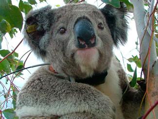 Gunnedah May Hold Key To Reversing Koala Decline