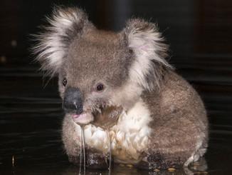 Koala Makes A Splash In Toolern Vale