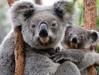 What Koalas Can Teach Us About Human Evolution And Disease