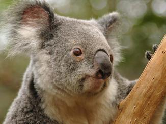 Aiding And Abetting The Killing Of Koalas