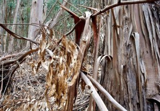 Climate Change Threatens Native Eucalyptus Species With Extinction