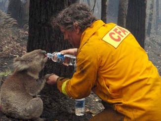 Hot Australian Weather Causes Koala Illness To Spike