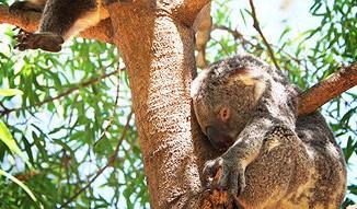 Koalas Face Demise