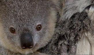 Decoding Koala Communications At San Diego Zoo