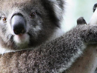 Great Koala Count: South Australia's Koala History