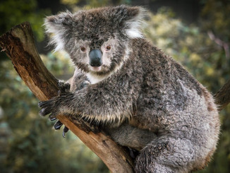 Koala Mortality Rates Unsustainable In South East Queensland