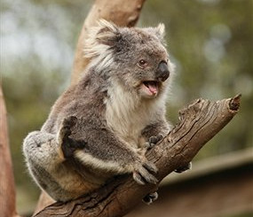 What Sounds Do Koalas Make?