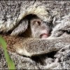 Eurobodalla Koala Surveys Starts At Bodalla