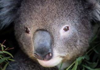 Koala Extinction Imminent In Parts Of South-East Queensland, Report Warns