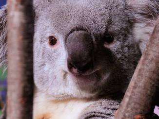 Cracking The Koala Code: Fact Sheet