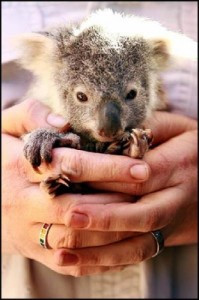 koala joey being carefully held within human hands