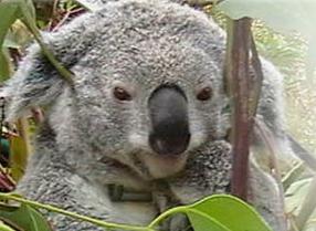 Koala Retreat Provides A Sanctuary For Trees, Koalas And People