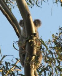 Annual Koala Survey, Redland
