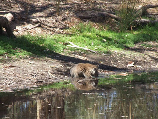 Nev Snaps Koalas Drinking From Dam