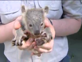 11 Koala Joeys Are Joining The Colony At Dreamworld