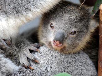 Taronga Zoo's Gentle One-Eyed Koala Tortuga Proves A Hit With His Female Companion
