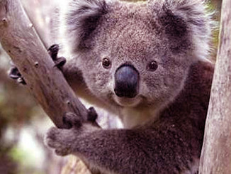 Tense Stand-Off Over Koala Colony