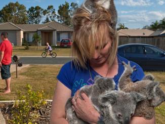 Volunteer Army To The Koalas Rescue