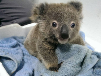 Update: Newborn Koala At Taipei Zoo Dies