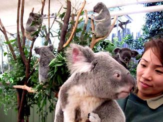 No Space, Mate: Koala's Habitat Under Threat