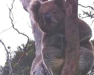 Male Koala Bears Use Extra Vocal Chords To Woo Ladies