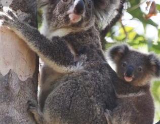 Koala Panel A 'Matter Of Urgency'