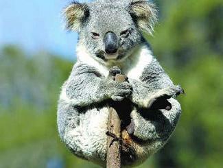 "Greens Condemn ""Mindless Destruction"" Of Koala Habitat"