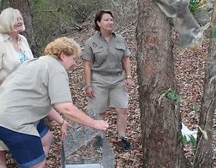 Chesty Bond The Koala Released At Denmark Hill Conservation Estate