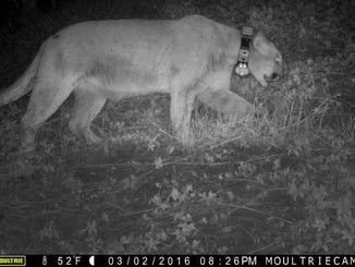 Celebrity mountain lion roams free after koala killing