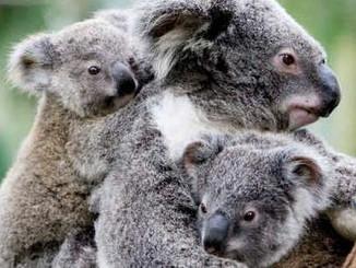 30 Sick And Dead Koalas In Maryborough