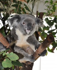 New Arrivals: Koala Joeys