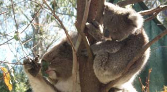 Citizen Science And Spotting Koalas In New Parts Of Australia