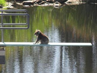 Uncool Koala Considers Taking The Plunge