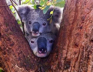 Koala Creche Takes Cuteness To New Heights