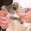 Knee Reconstruction On Karen The Koala