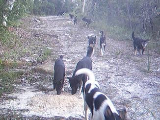 Wild Dogs Helping To Kill Off Sunshine Coast Koalas
