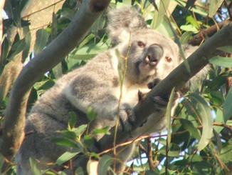 Camp for Koalas