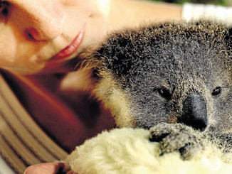 Drivers Urged To Slow Down For Koala Mums