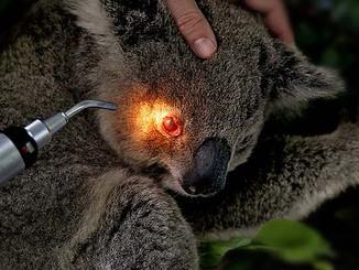 Disease Free Koalas At Risk Of Chlamydia In Macarthur