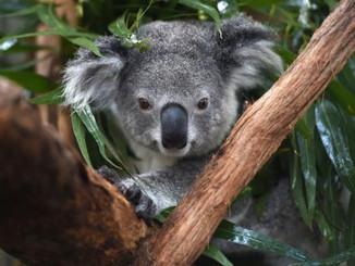 Koalas In Australia Face Extinction By 1000 Cuts