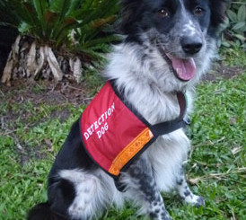 Oscar's Replacement Maya The Koala Detection Dog Operational Search And Find