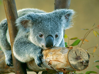 Koala Protection Funds Will Go Quickly With Land Buys