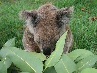 Koalas Struggled To Survive North Stradbroke Island Fires
