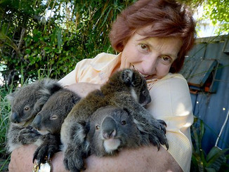 Thirsty Koalas Turn To Backyards In Search Of Water