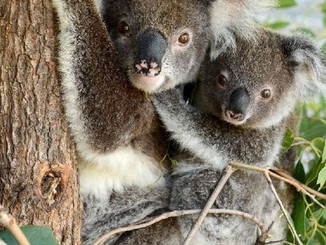 Our Koalas Are Suffering In Heat Crisis