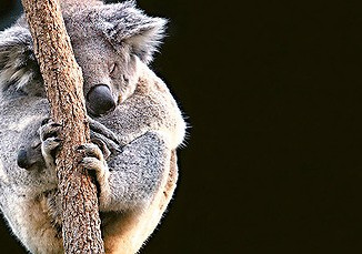 How Much Can A Koala Bellow?