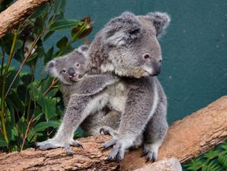 Sydney Wildlife World Launches KOALA HQ